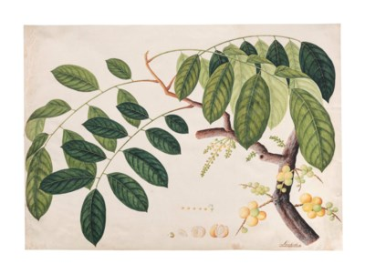 A STUDY OF A TROPICAL TREE AND