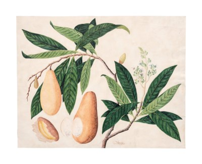 A STUDY OF A TROPICAL FRUIT