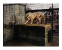 White Tiger, (Kenny), Selective Inbreeding Turpentine Creek, Wildlife Refuge and Foundation, Erika Springs, Kansas, 2006/2007