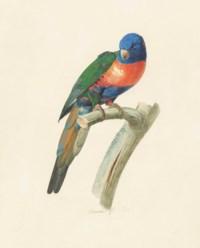 Male Rainbow Lorikeet (Tricholglossus haematodus)