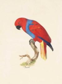 Electus Parrot (Electus roratus)