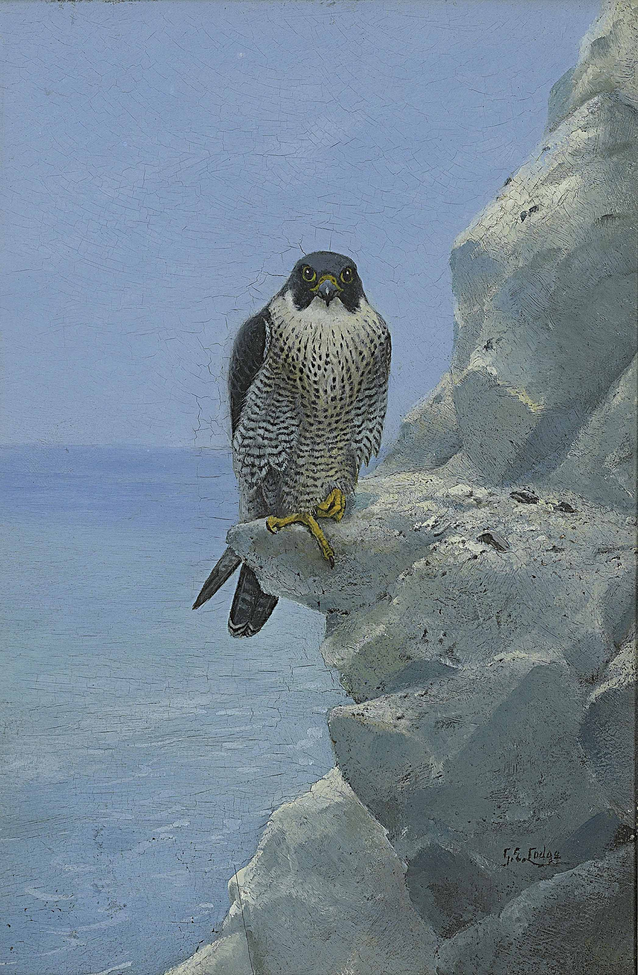 A peregrine falcon on a chalk cliff