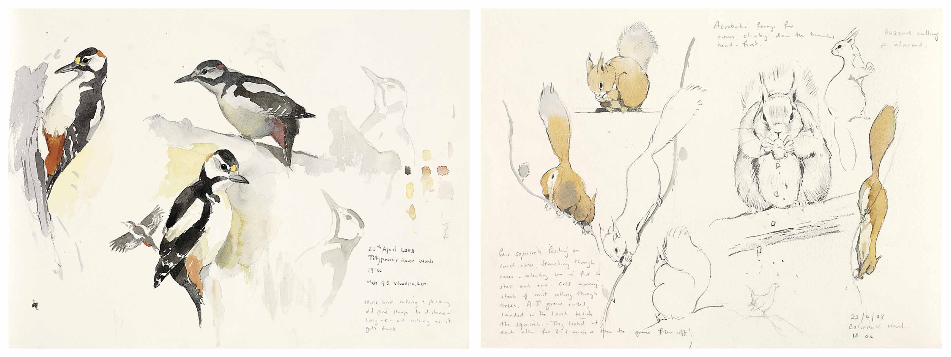 Album of sketches on the Tillypronie Estate, April 2008, including great spotted woodpecker, long eared owl, Scottish crossbill, red squirrel, curlew, merlin, ptarmigan, redshank, red grouse, osprey and others