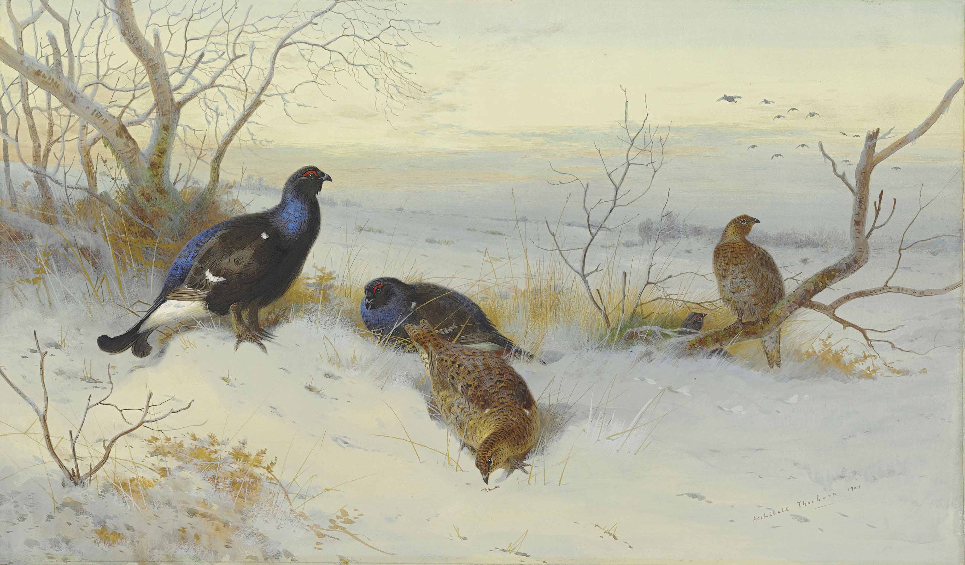 Blackgame in snow, evening