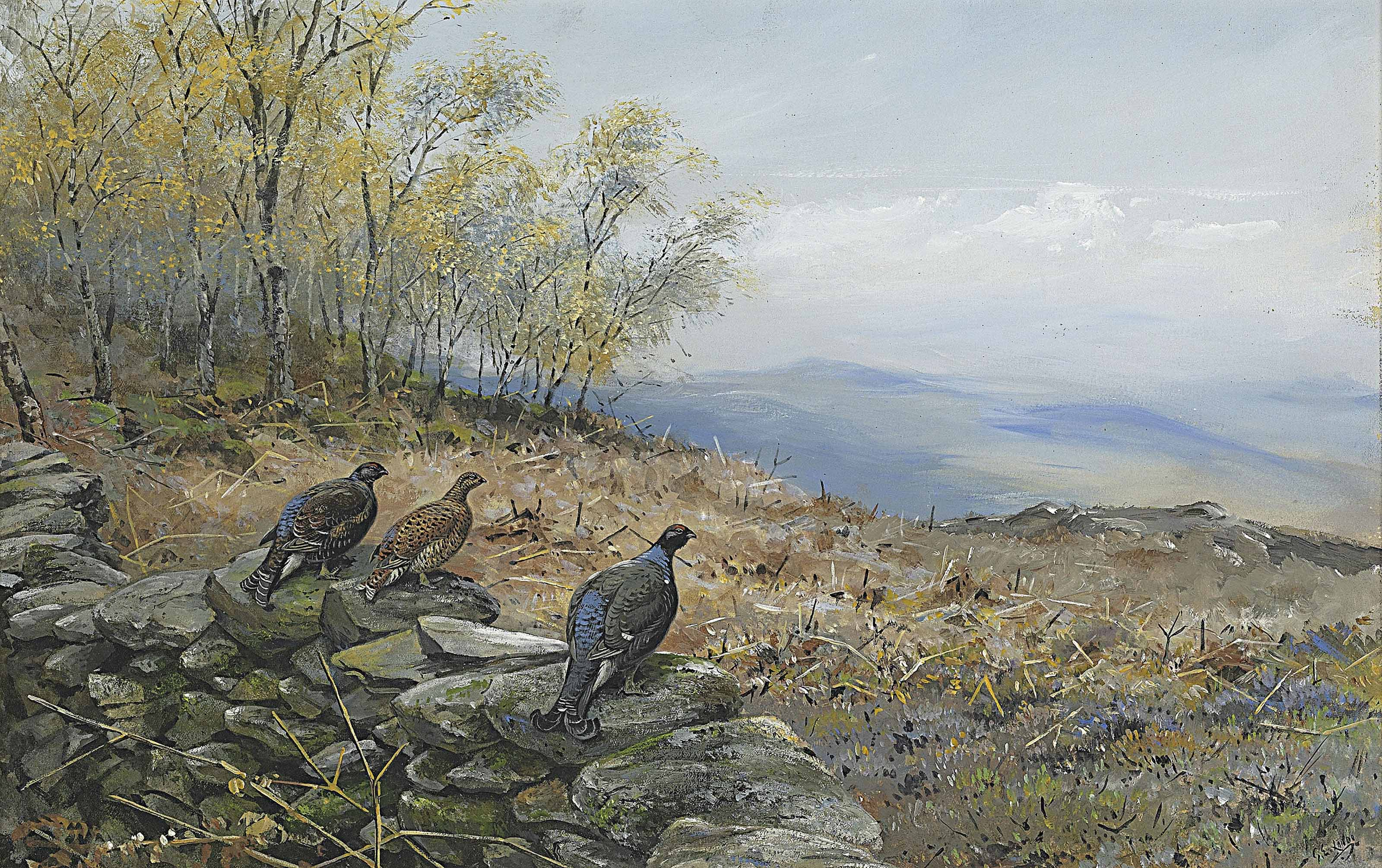 Blackgame perched on a drystone wall