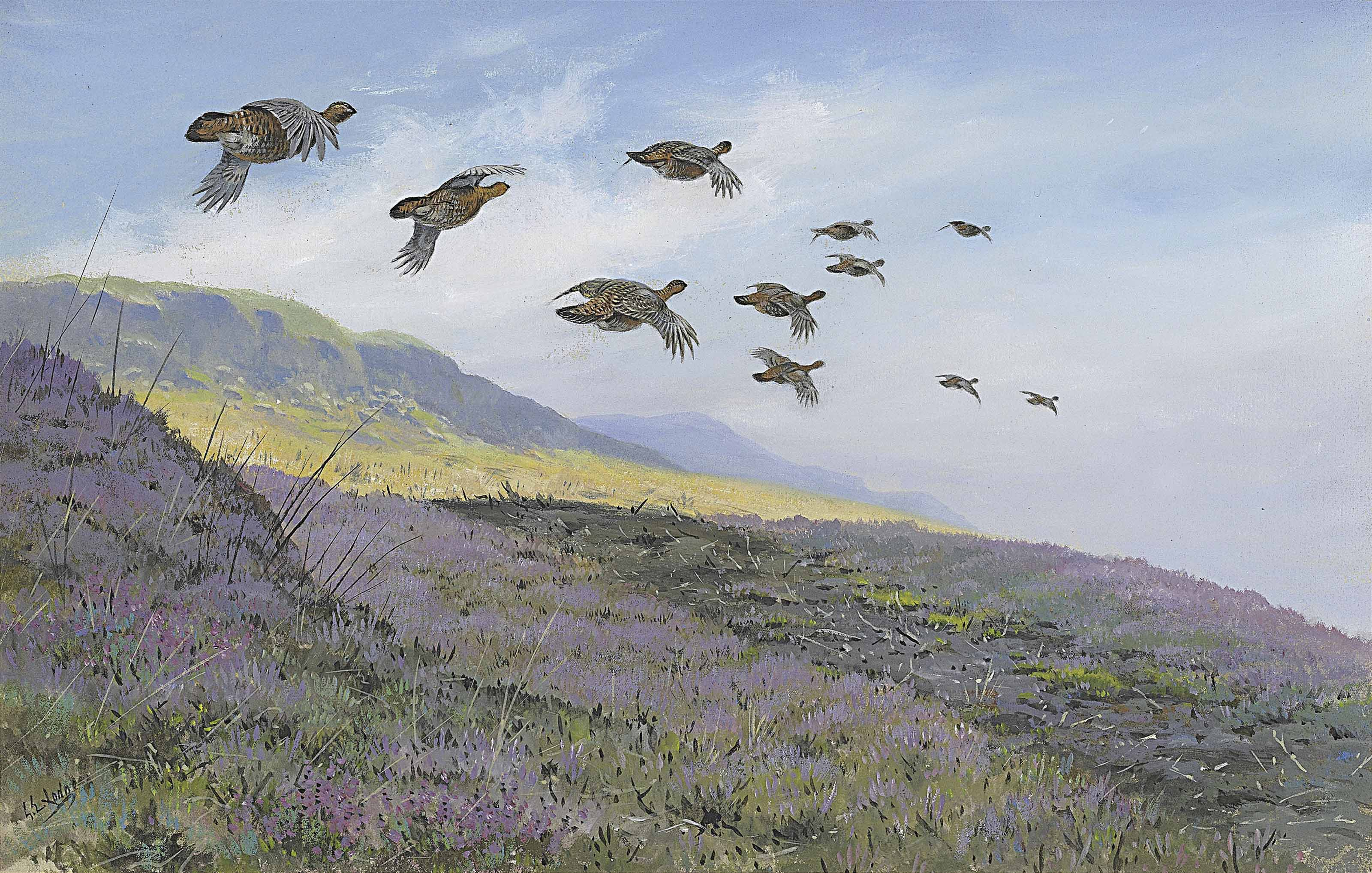 A covey of red grouse flighting over heather
