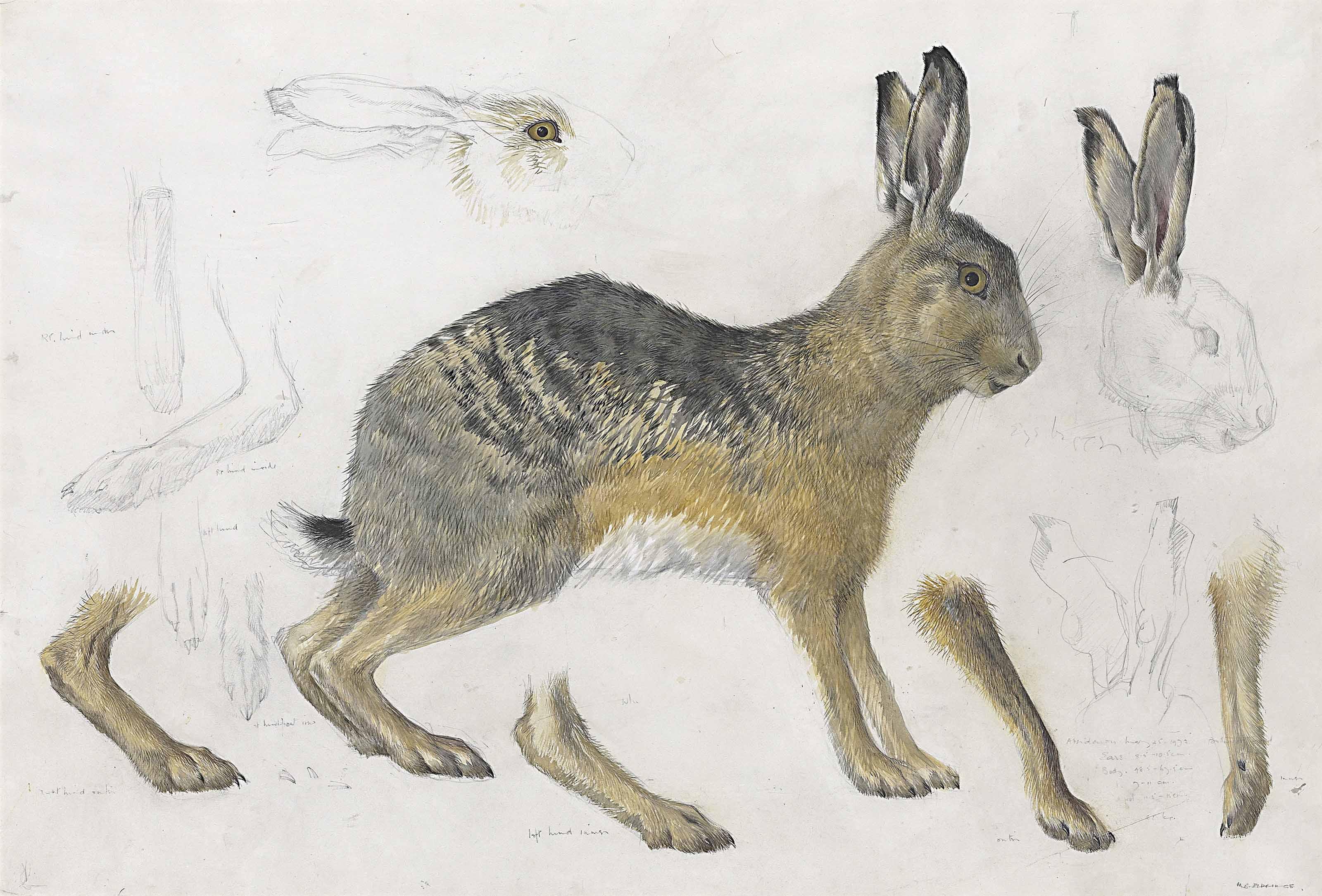 Hare, drawn at Aberdaron, Gwynedd