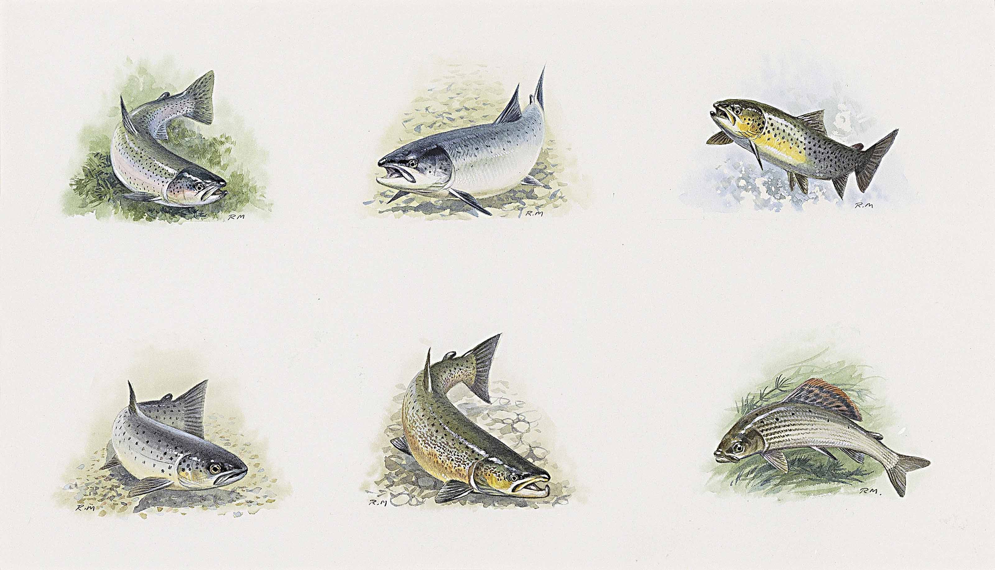 Studies of salmon, grayling and trout