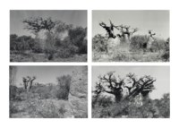 (i) Baobab III (ii) Baobab IV (iii) Baobab V (iv) Baobab VI