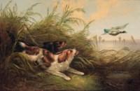 Spaniels putting up mallard
