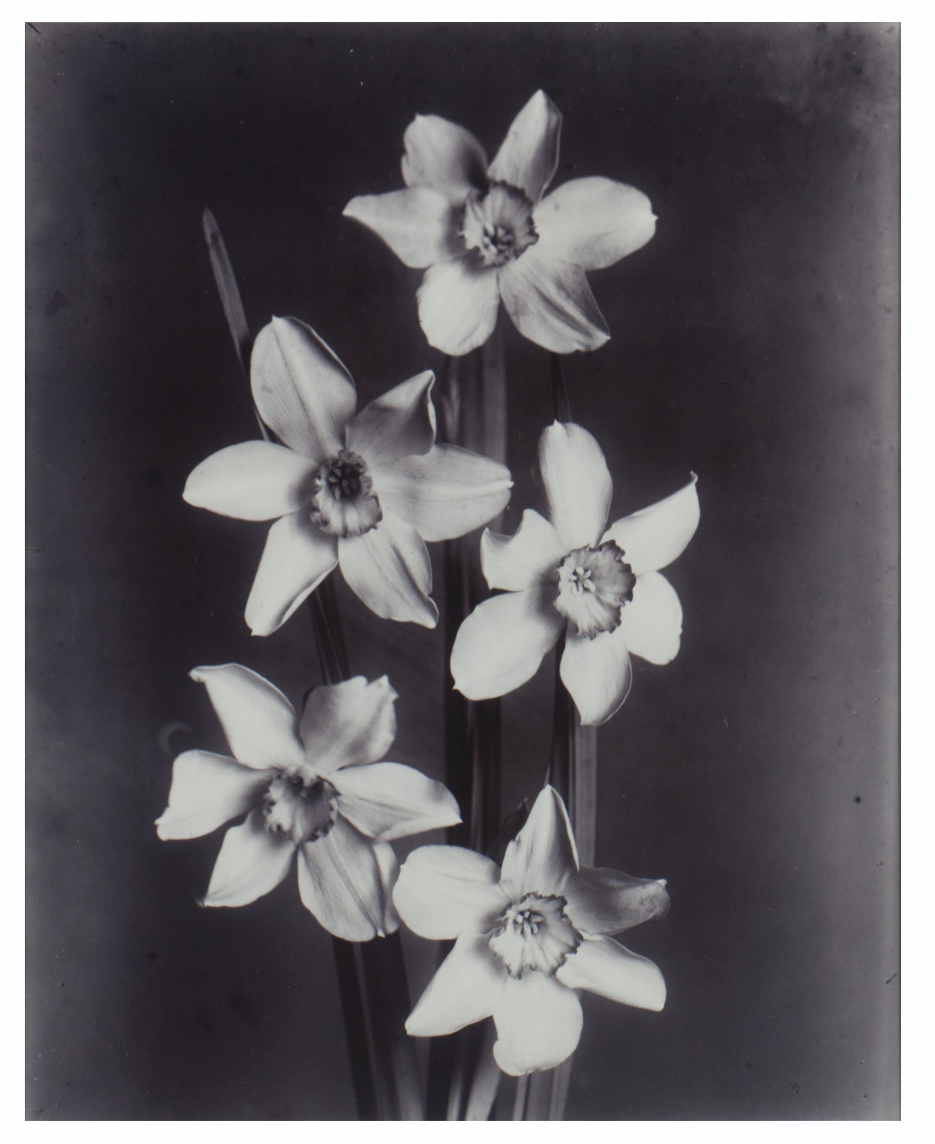 Narcissus Incomparabilis Barri; together with Pompon Dahlia Tommy Keith; and Parrot Tulips, circa 1900