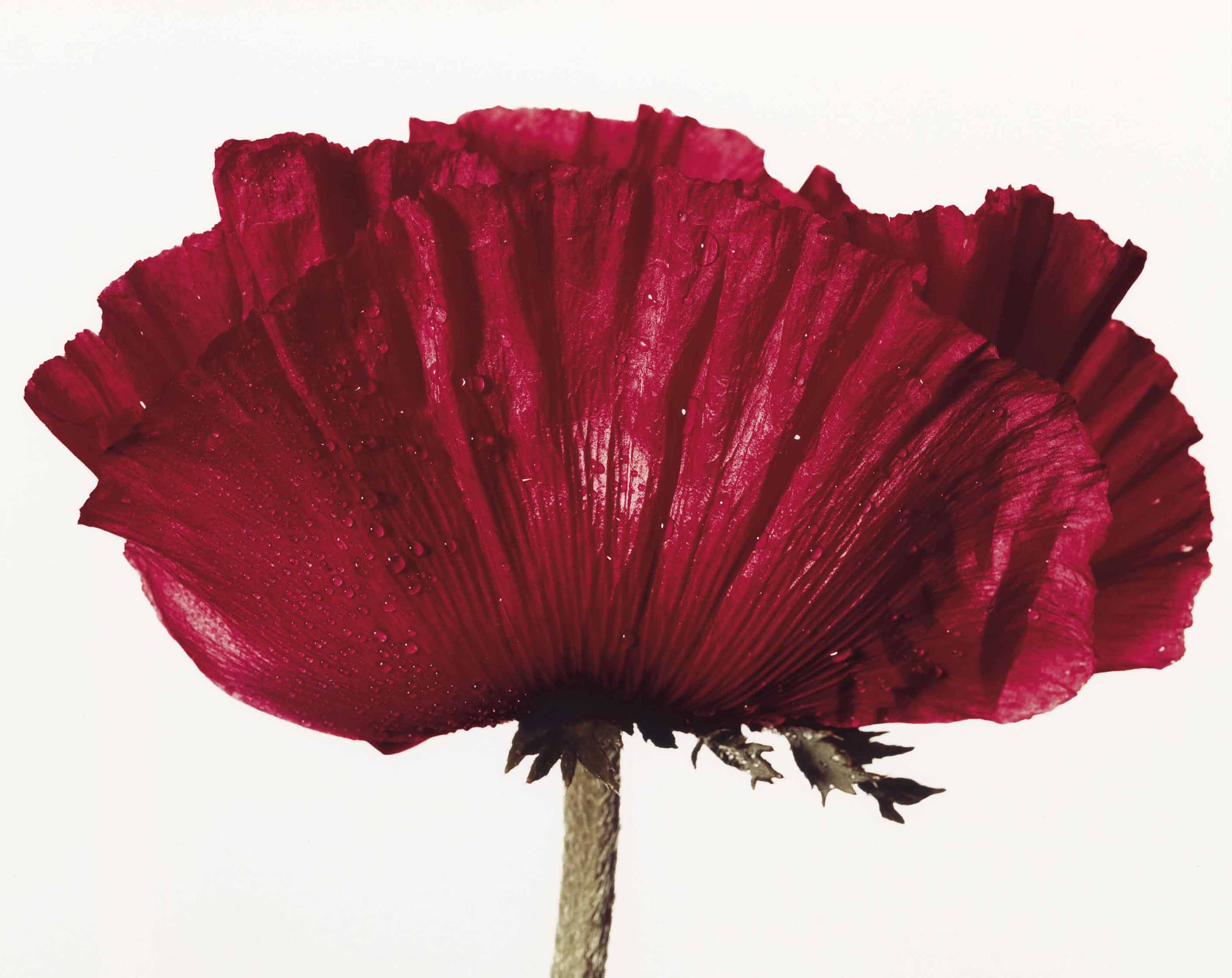 Poppy: Glowing Embers, New York, 1968