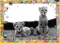 Orphaned Cheetah Cubs, Mweiga, near Nyeri, Kenya, March 1968