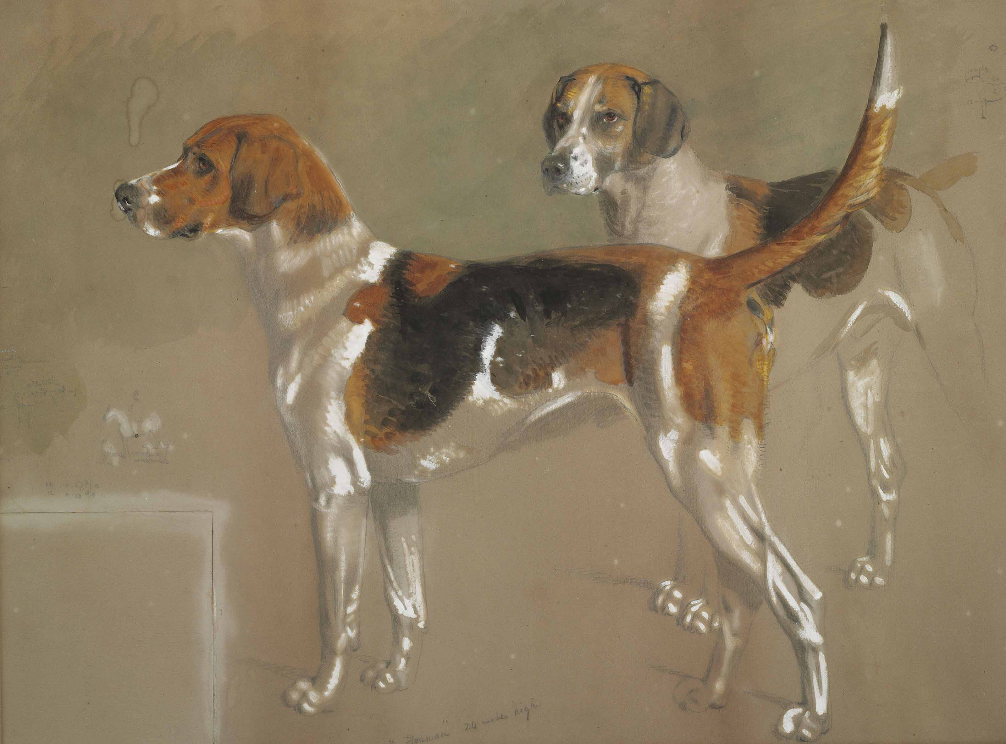 Five sketches of Cottesmore foxhounds