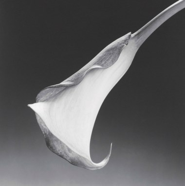 Robert Mapplethorpe (1946-1989), Calla Lily, 1988. Sheetflush mount 23⅞ x 19⅞  in (60.5 x 50.5  cm) . Estimate £25,000-35,000. Offered in Photographs on 17 May at Christie's in London