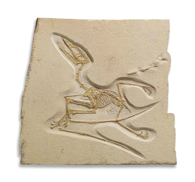 A rare Jurassic flying lizard, Solnhofen, Germany. 26 x 27 in (66 x 70 cm). Estimate £80,000-100,000. Offered in Science and Natural History on 10 July 2018 at Christie's in London