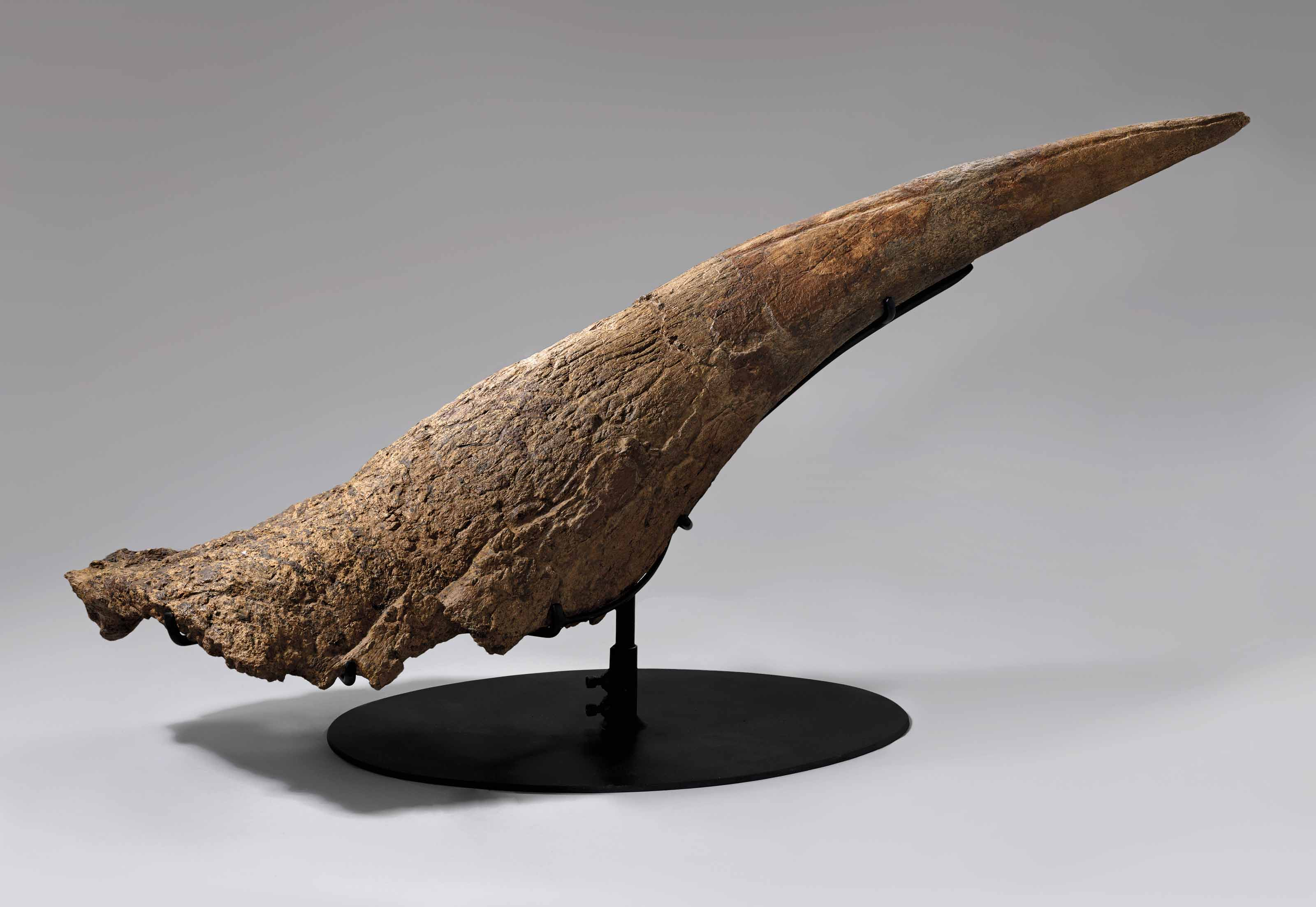 A LARGE TRICERATOPS HORN