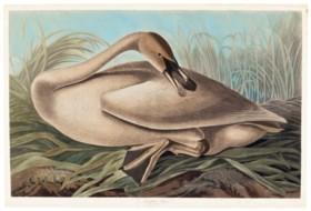 AFTER JOHN JAMES AUDUBON (1785-1851)  BY ROBERT HAVELL (1793 - 1878)