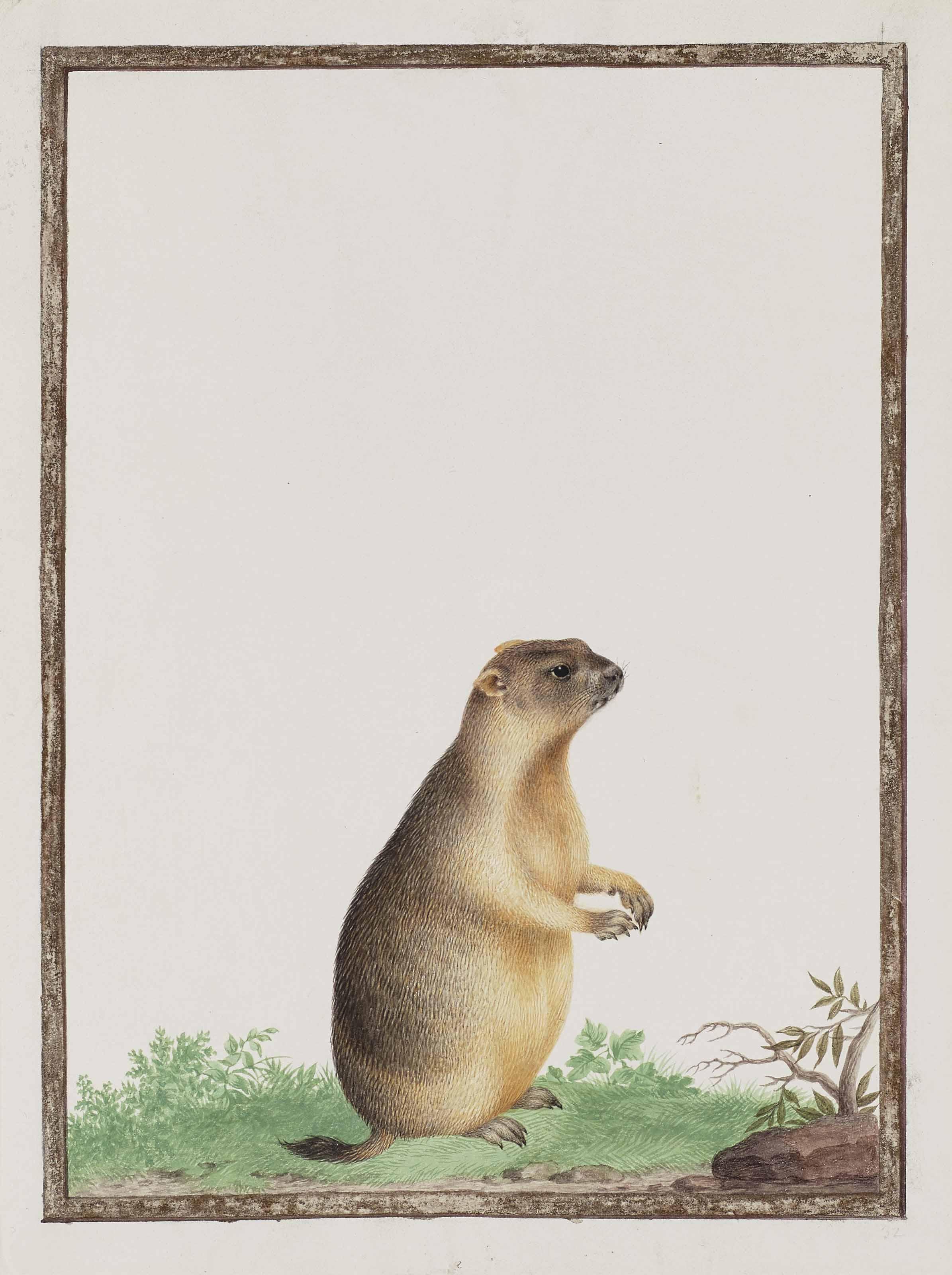 Marmotte (Marmota)