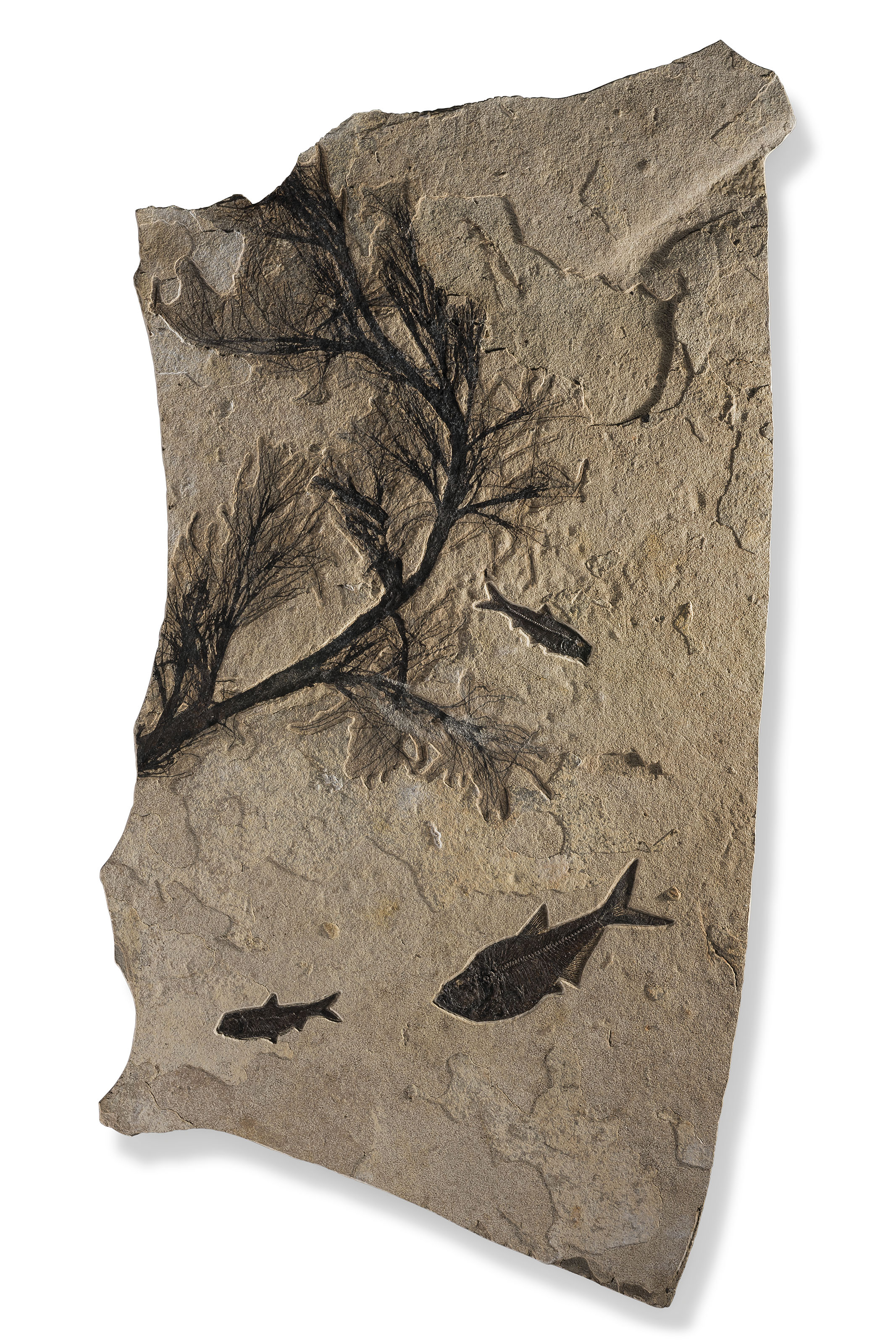 A fossil palm flower and fish, Green River, Wyoming, USA, from the Eocene (c. 50 million years ago). 48 x 27 in (122 x 69 cm). Sold for £18,750 on 24 May 2019 at Christie's in London
