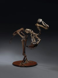 A DODO SKELETON