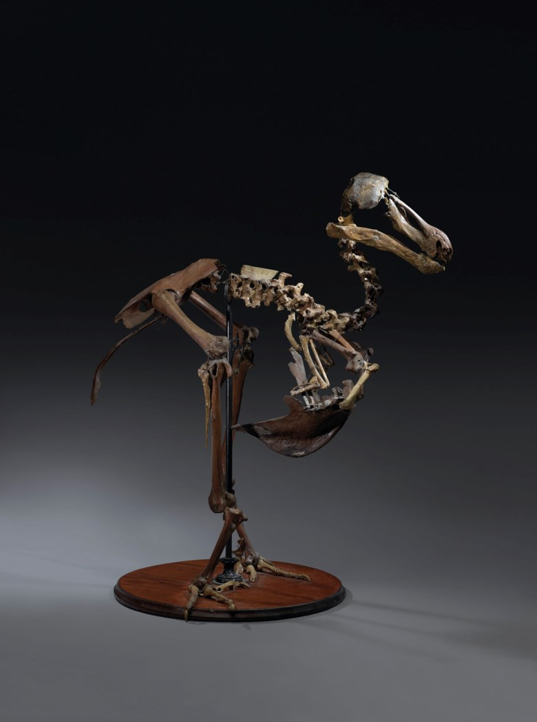 A dodo skeleton, Mauritius, before 1690. 25 x 22 x 14 in (64 x 55 x 35 cm). Sold for £491,250 on 24 May 2019 at Christie's in London