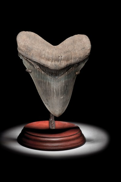A LARGE MEGALODON TOOTH
