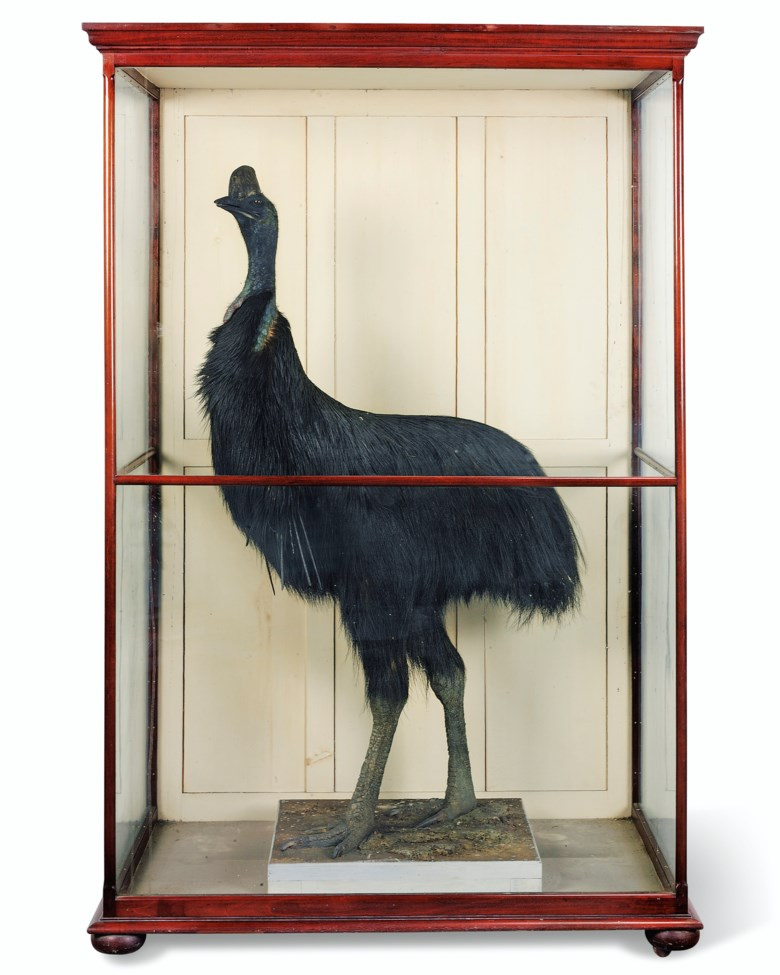 A taxidermy southern cassowary, southern Australia, late 19th early 20th century. 80 in (203.5 cm) high; 52½ in (133 cm) wide; 33 in (84 cm) deep. Estimate £5,000-10,000. Offered in Property from Descendants of Their Majesties King George V and Queen Mary on 13 December 2019 at Christie's in London
