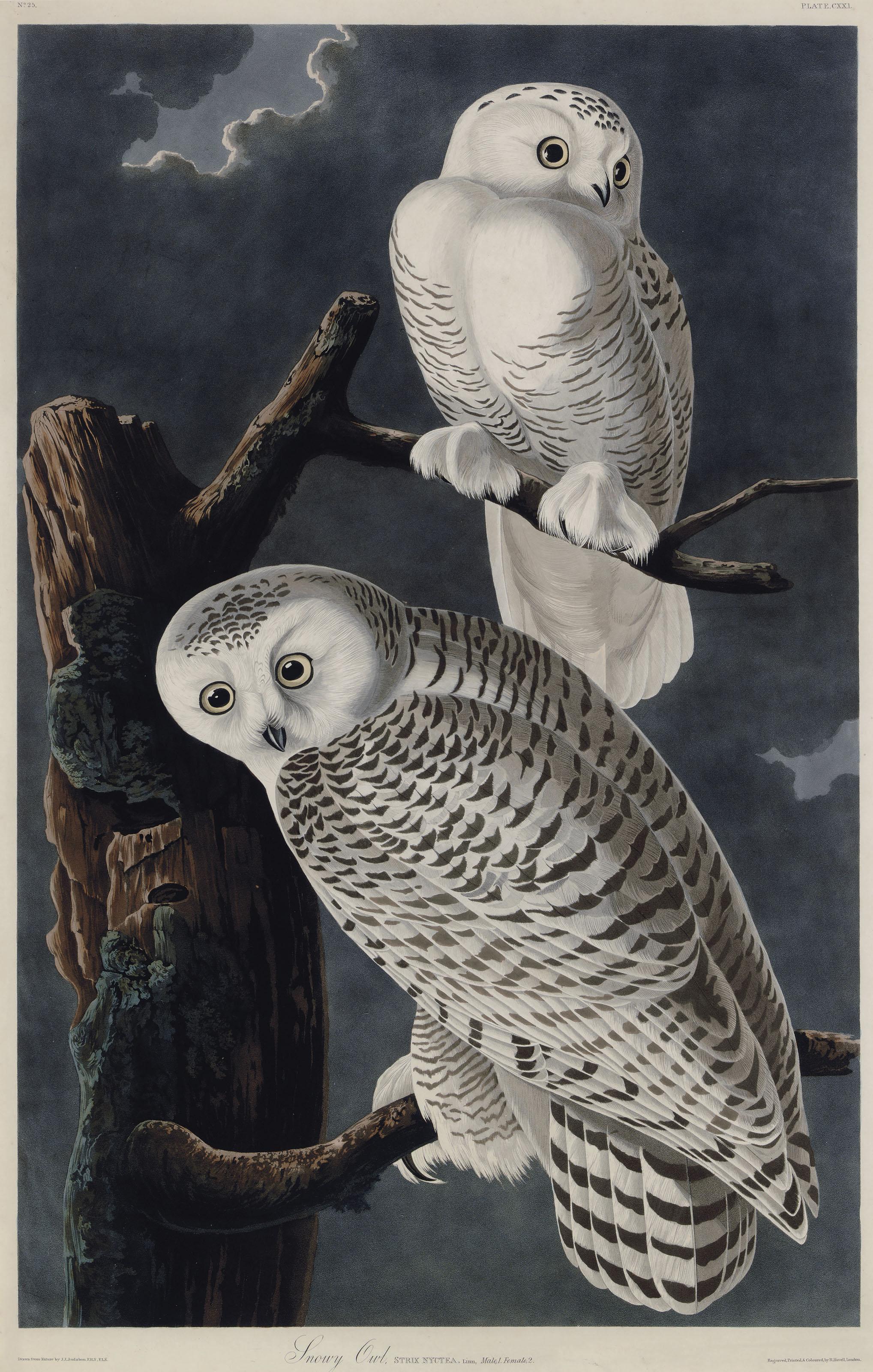 Snowy Owl (Plate CXXI)  Strix nyctea