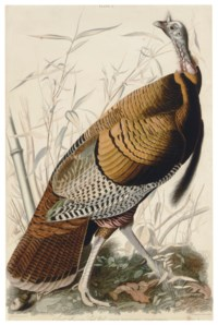 Great American cock Male (Plate I)  Meleagris gallopavo  Variant 1
