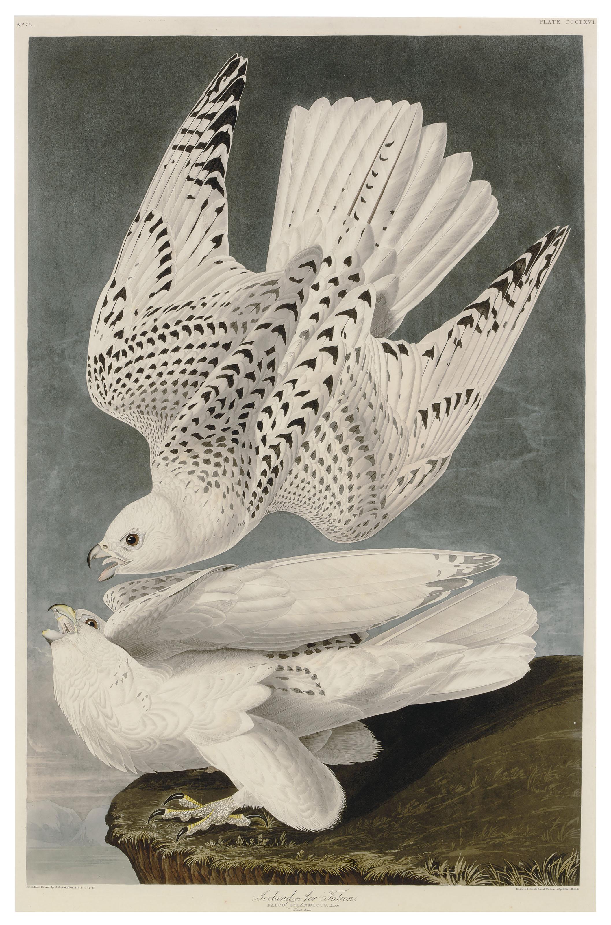 Iceland or Jer Falcon (Plate CCCLXVI)  Falco Islandicus