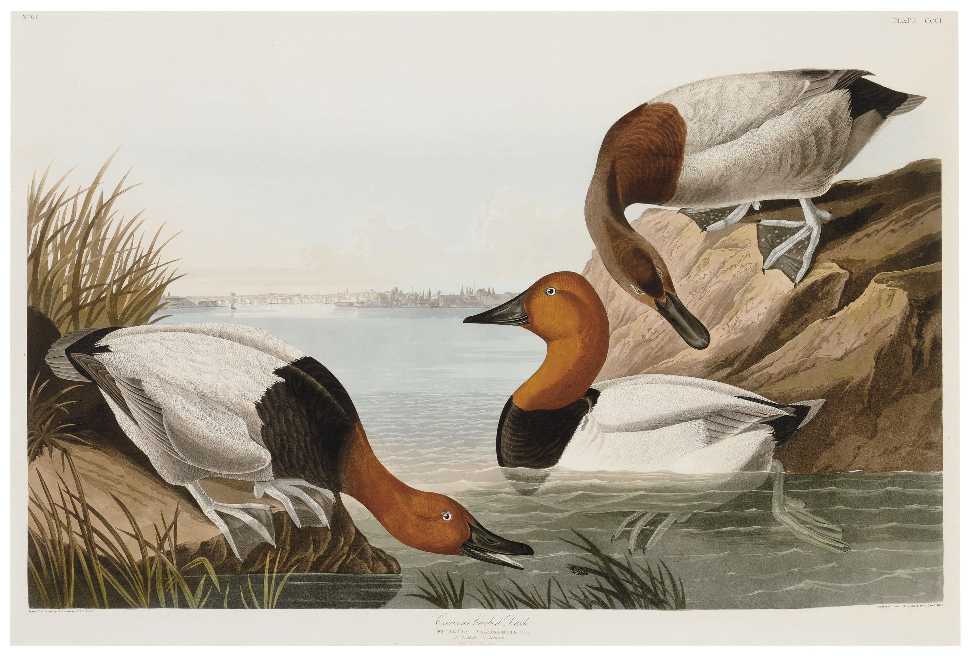 Canvas backed Duck (Plate CCI)  Fuligula vallisneria