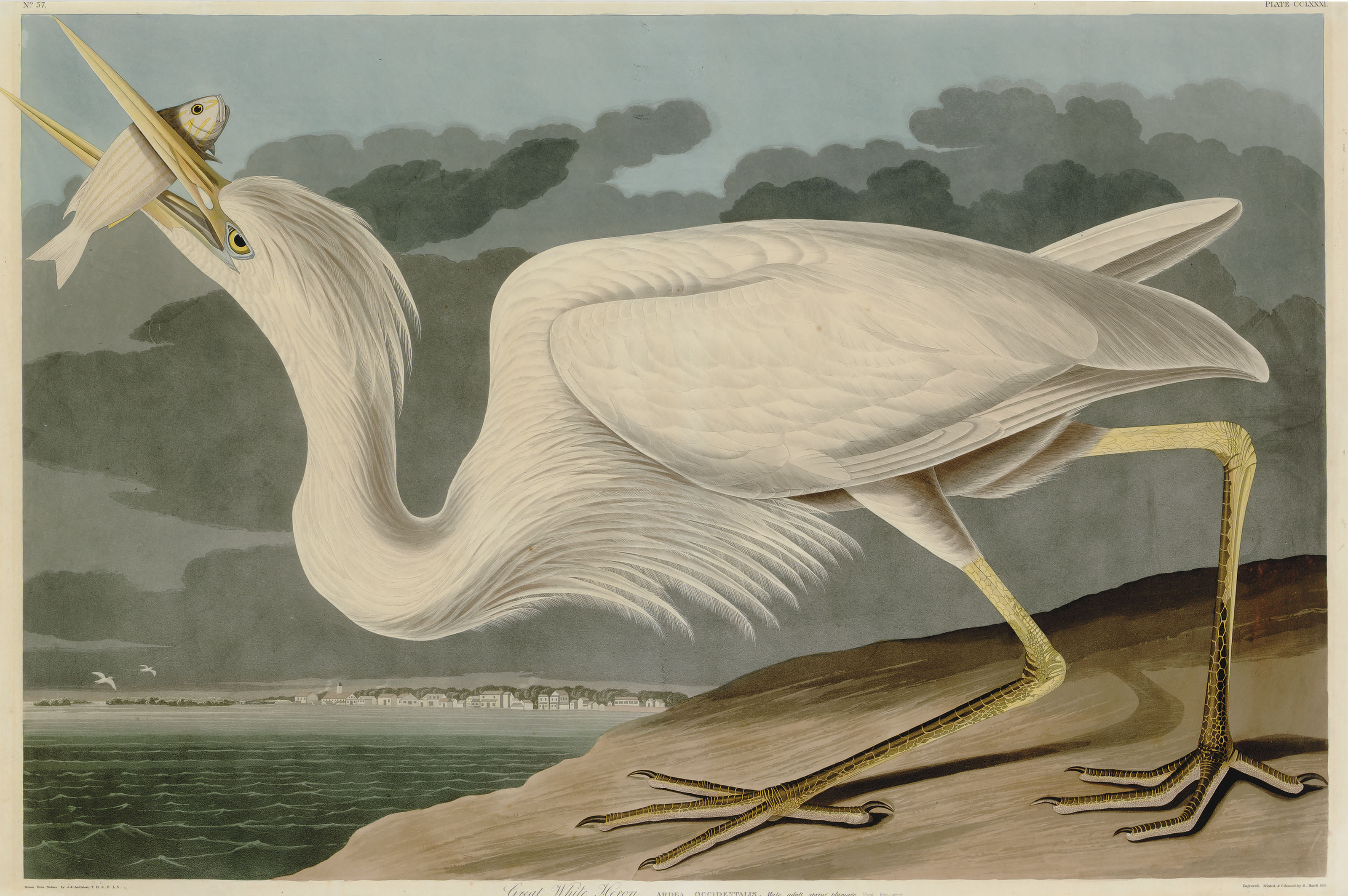 Great White Heron (Plate CCLXXXI)  Ardea occidentalis