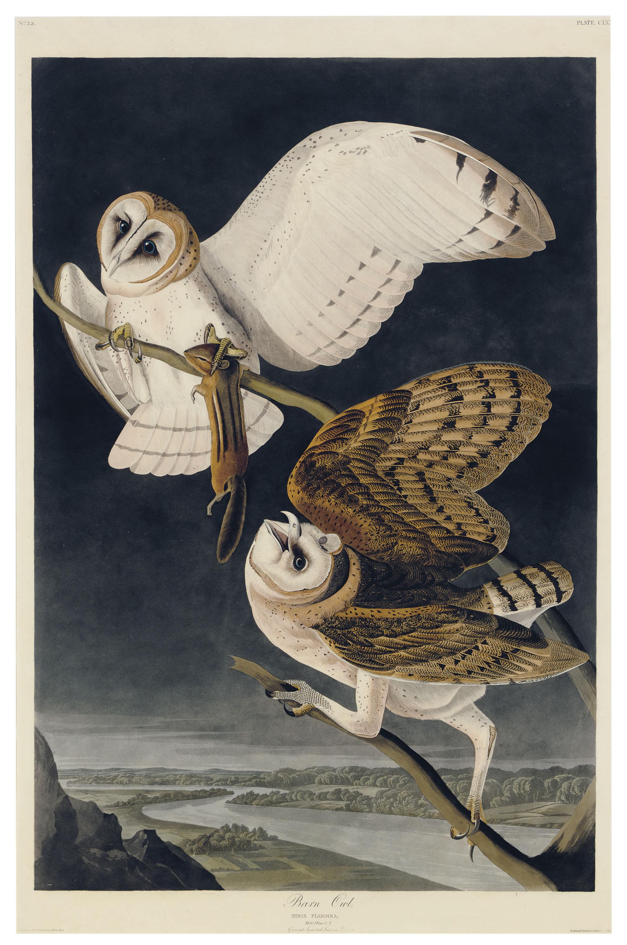 Barn Owl (Plate CLXXI)  Strix flammea