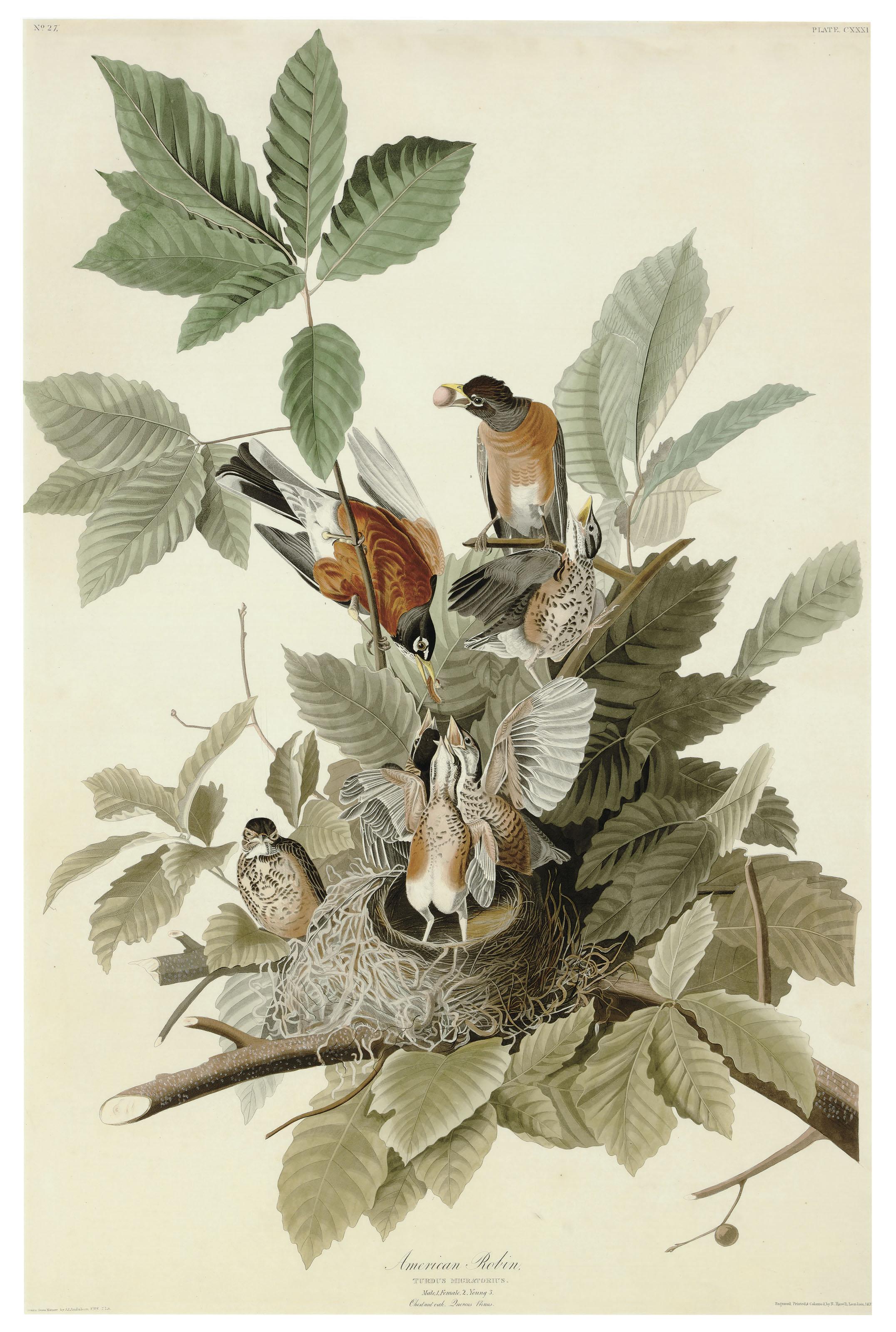 American Robin (Plate CXXXI)  Turdus migratorius