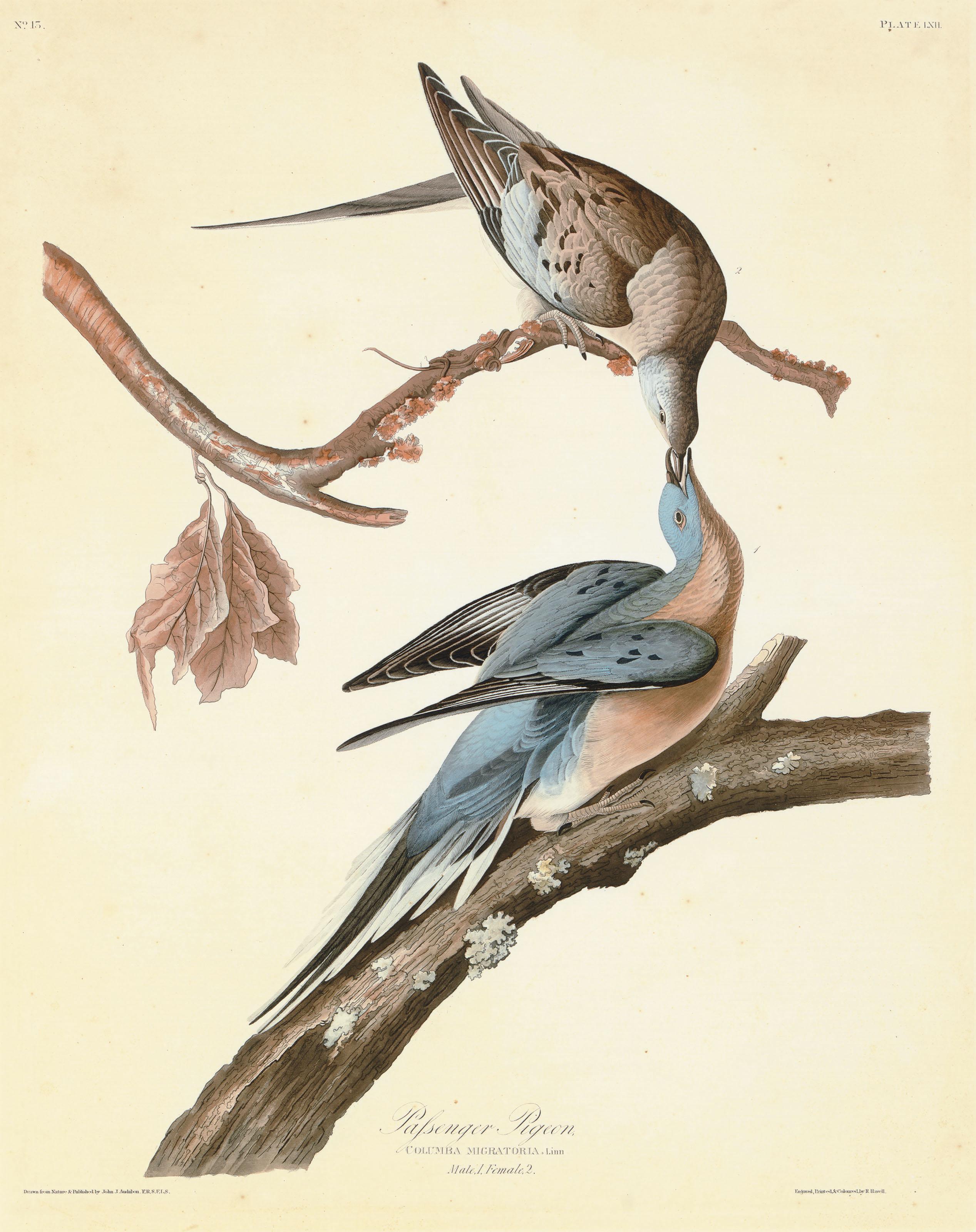 Passenger Pigeon (Plate LXII)  Columba migratoria  Variant 2