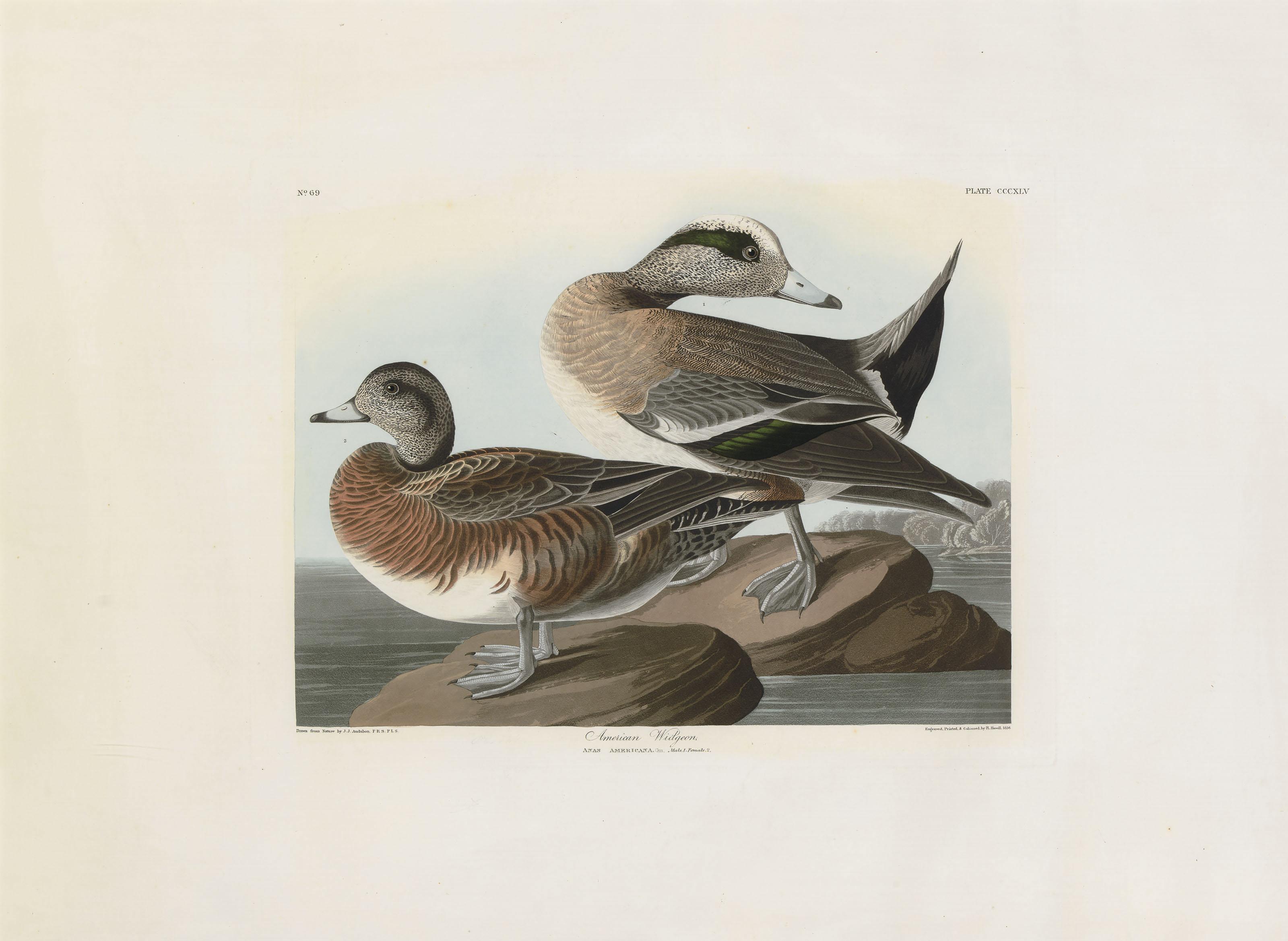 American Widgeon (Plate CCCXLV)  Anas americana