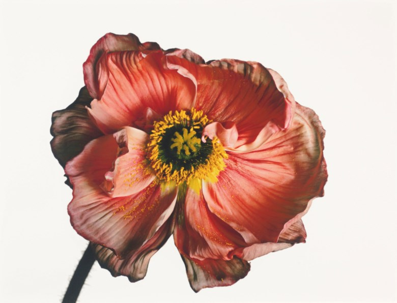 Irving Penn (1917–2009), Iceland Poppy Papaver nudicaule (A), New York, 2006. Imagesheetflush mount 17⅞ x 22¼  in (45.4 x 56.5  cm). Estimate $80,000-100,000. This lot is offered in Photographs on 2 April 2019 at Christie's in New York