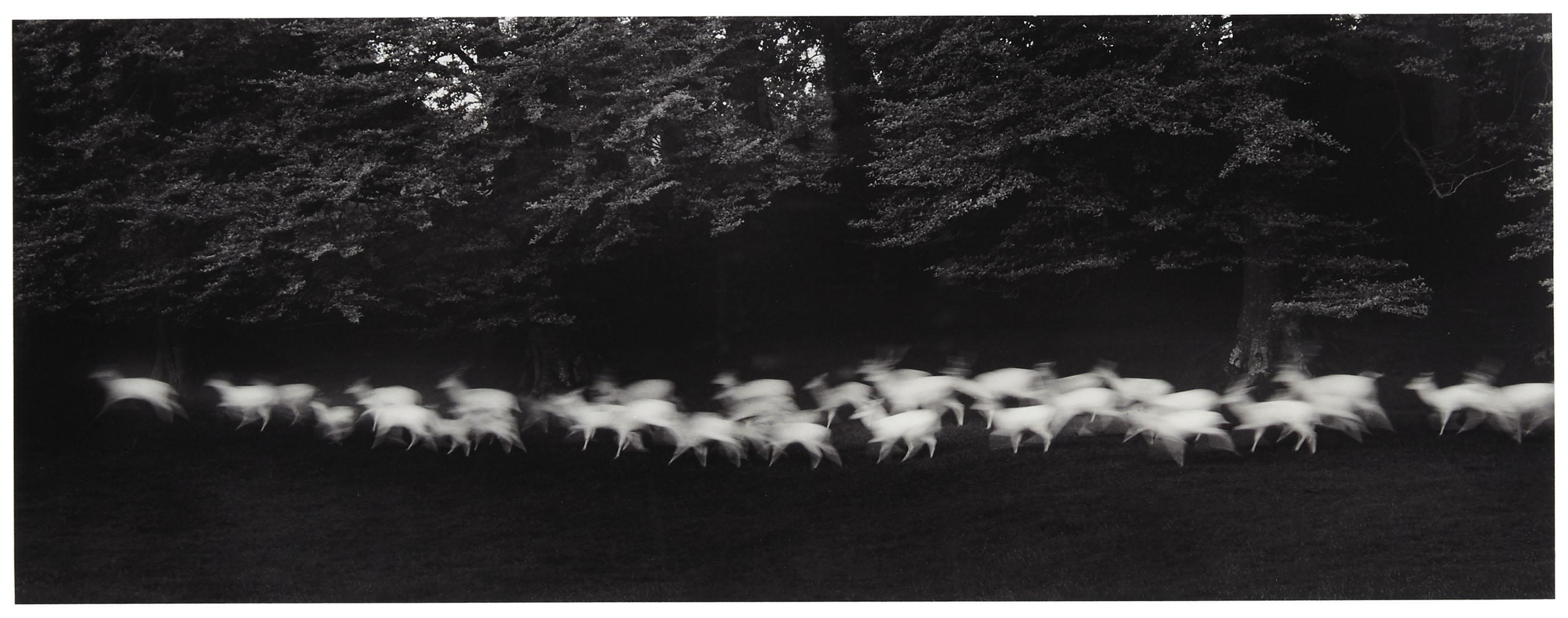 Running White Deer, Wicklow, Ireland, 1967