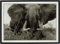 Large tusker (c. 150 lbs per side), Tsavo North, near hunting block 33/ Ithumber Hill on the Athi-Tiva dry river, February, 1965