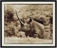 World-Class Black Rhino, Aberdare Forest, 1972