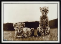 Orphaned Cheetah Cubs, Mweiga, Kenya, 1968