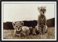 Orphaned Cheetah Cubs, Mweiga, Kenya, 1968