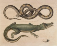 Serpent du Mexique et crocodile du Sénégal