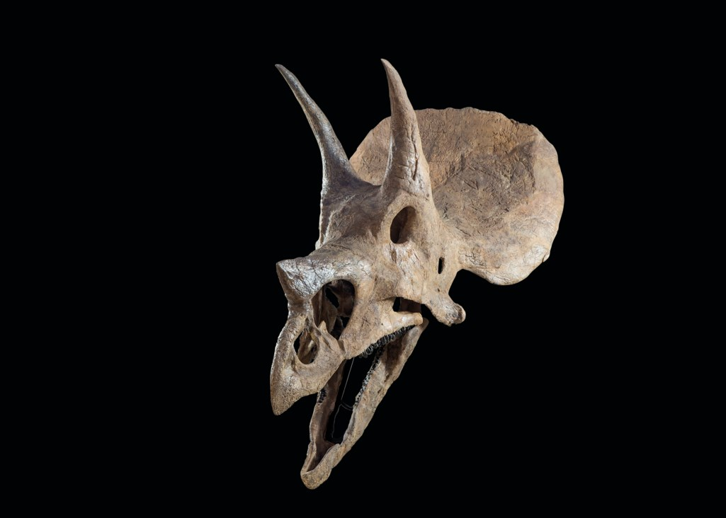 THE SKULL OF A TRICERATOPS