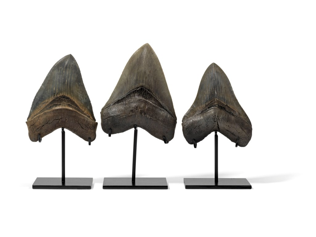 A GROUP OF THREE MEGALODON TEETH