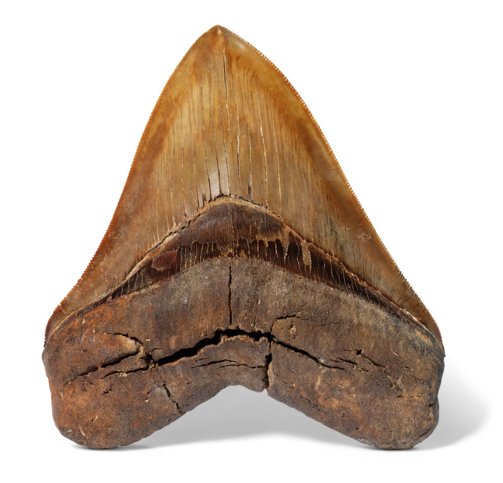 A LARGE RED MEGALODON TOOTH