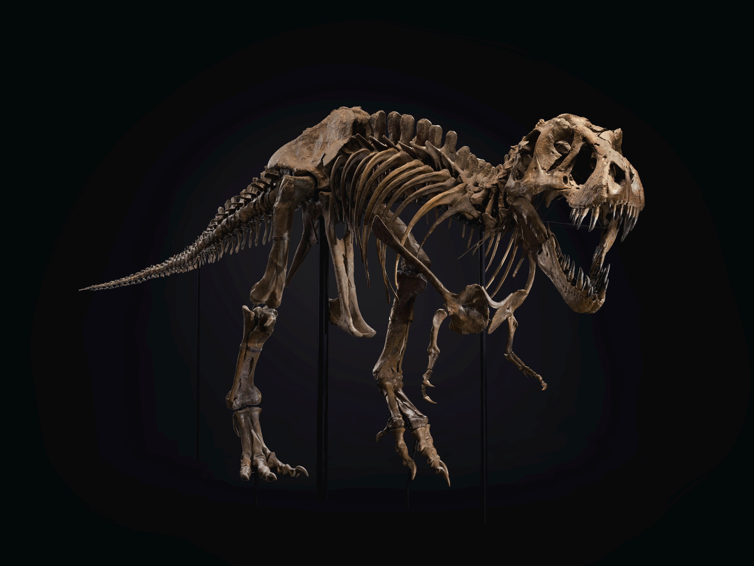 A male Tyrannosaurs rex. From the Hell Creek Formation. Late Cretaceous (circa 67 million years ago). Approx. 190 bones surviving and mounted on custom frame with additional cast elements. A separate display for the original skull and teeth. Size 37 x 13 x 6 ft (1128 x 396 x 183 cm). Sold for $31,847,500 in the 20th Century Evening Sale on 6 October at Christie's in New York
