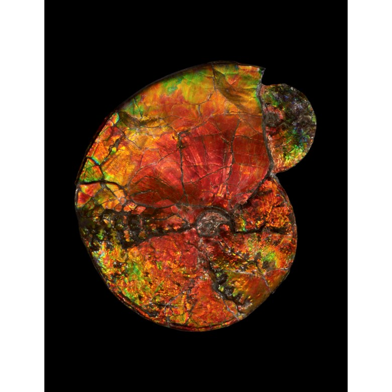 Two iridescent ammonites, Canada. 15 x 13 x 2½ in (38 x 33 x 6 cm). Estimate £30,000-50,000. Offered in Science and Natural History, 12-26 October 2021 at Christie's Online