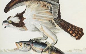 The Portland Audubon auction at Christies